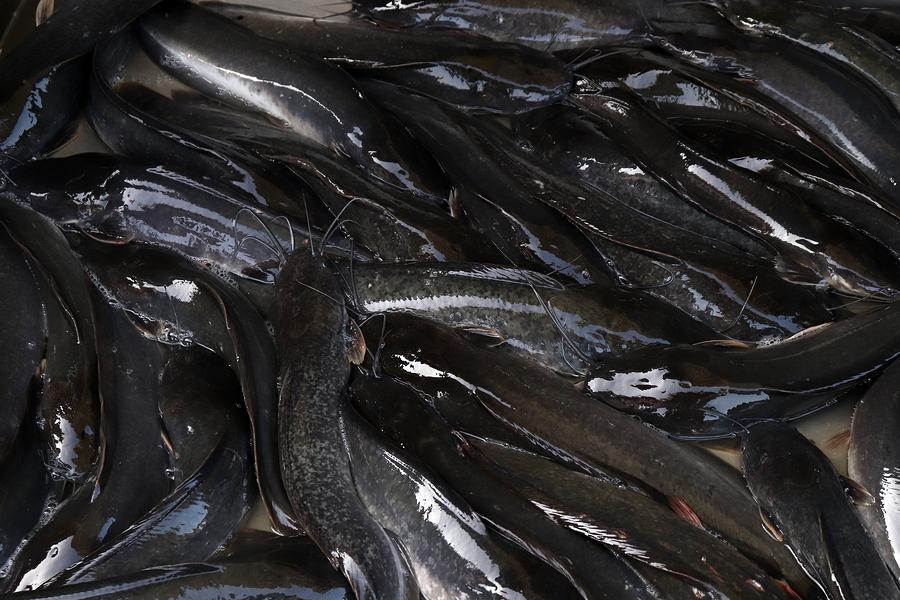 Panduan Lengkap Budidaya Ikan Lele Bioflok, Panen Melimpah