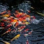 Peluang Usaha Budidaya Ikan Koi & Cara Memulainya